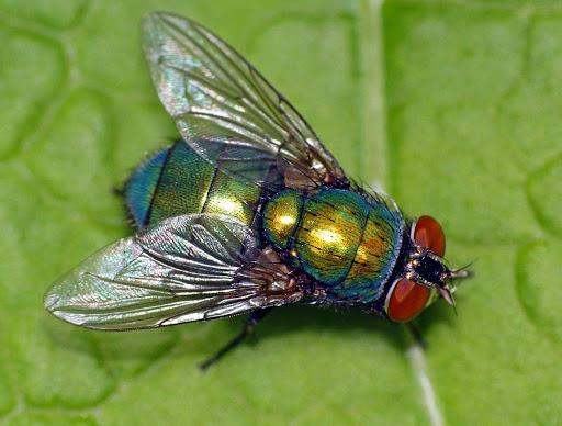 Зеленая муха L.sericata